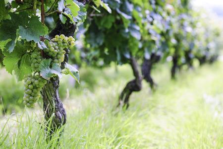 Riesling Vineyard in Germany, selective focus Stock Photo