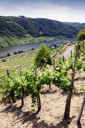 Vineyards at the Mosel, Germany photo