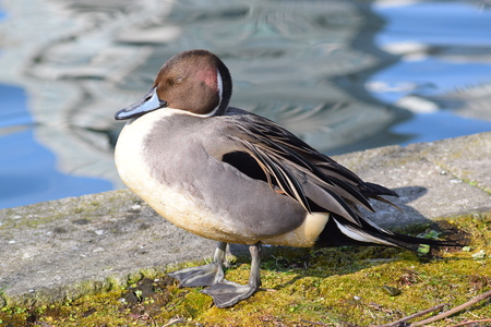 tatto Northern Pintail