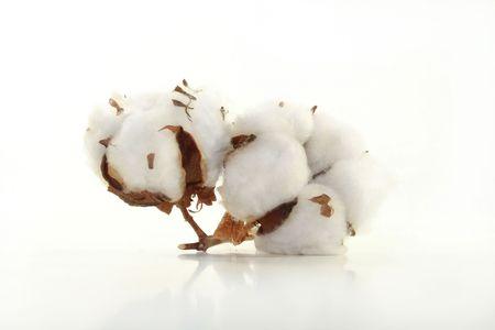 planta de algodon: Flor de algod�n sobre un fondo blanco  Foto de archivo