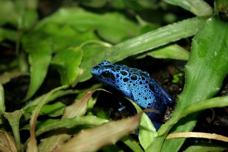 a blue poison dart frogs in a terrarium Stock Photo - 6736329