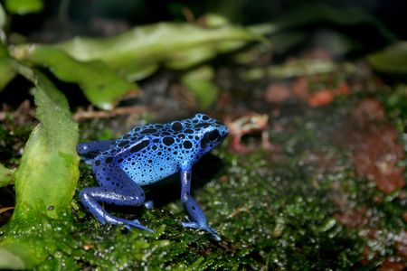 a blue poison dart frogs in a terrarium Stock Photo - 6736330