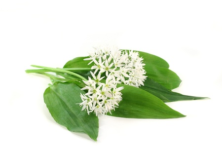 fresh wild garlic leaves with flowers on a white background Standard-Bild