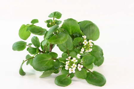 aphrodisiac: a bunch of watercress on white background Stock Photo
