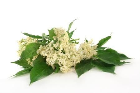 fresh elder flowers against a white background