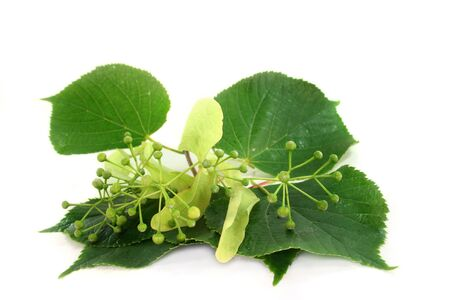 linden blossom: Linden blossom and lime leaves against white background