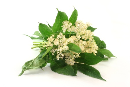 umbel: fresh elder flowers against a white background