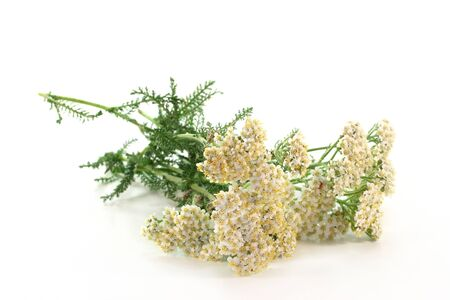 fresh branches Yarrow on a white background