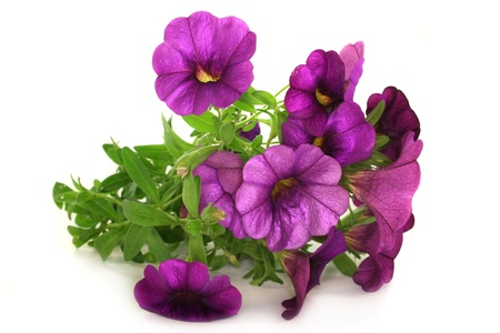 some petunia flowers on a white background