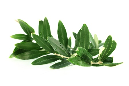 an olive branch on a white background Standard-Bild