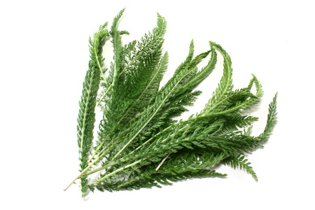 milfoil: some stems yarrow on bright background