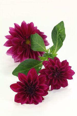 purple dahlia blooms on a bright background Stock Photo - 13896215