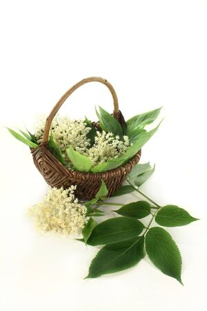 umbel: Elderberry flowers and leaves on white background Stock Photo
