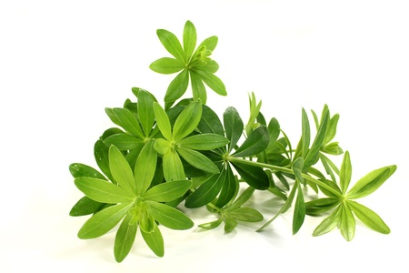 woodruff: fresh sweet woodruff in front of white background