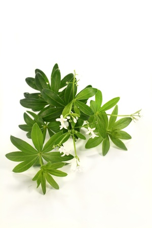 fresh sweet woodruff in front of white background photo