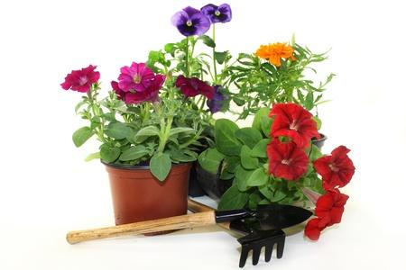 在白色背景前面的五颜六色的阳台植物