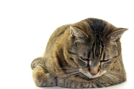 tabby cat at rest in front of white background