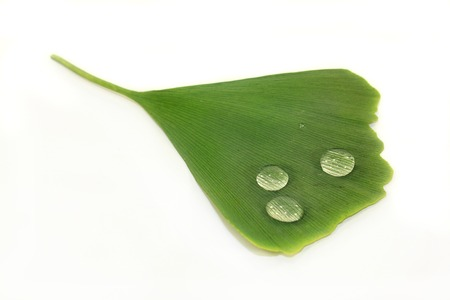 ginkgo leaf: green ginkgo leaf against white background Stock Photo