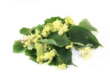 tilo: Flores de tilo y hojas sobre un fondo brillante