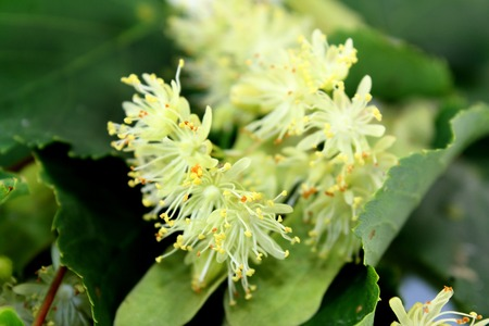 lime blossom: a macro shot of lime blossom and leaves Stock Photo