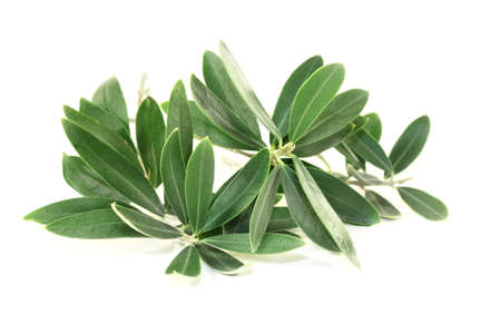 olive green: green olive branches on a bright background
