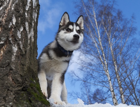 Siberian Husky Puppy 3 months old photo