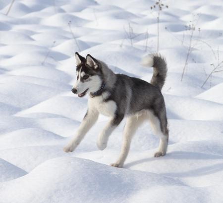 Siberian Husky Puppy 3 months old Stock Photo - 12793779