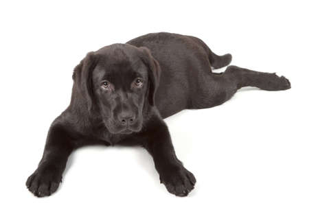 Black Labrador Retriever Puppy 3 months old isolated on white background Stock Photo - 12793937