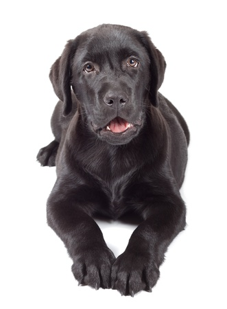 Black Labrador Retriever Puppy 3 months old isolated on white background photo