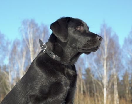 Black Labrador Retriever puppy 6 months old