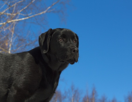 Black Labrador Retriever puppy 6 months old photo