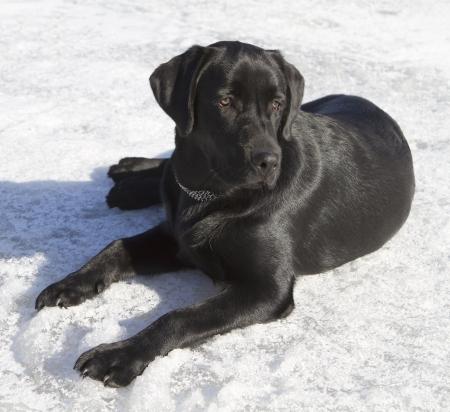 perro de caza: Negro Labrador Retriever