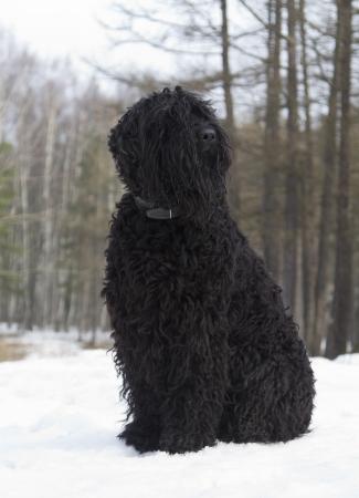 guarding: Black Russian Terrier  BRT or Stalin