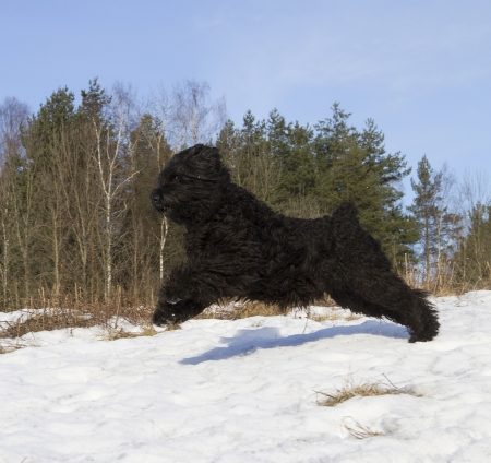 Black Russian Terrier  BRT or Stalin photo