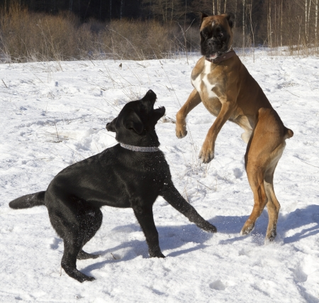 black labrador and boxer playing in the snow photo