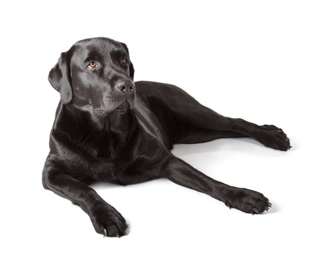 black out: Black Labrador Retriever 16 months old isolated on white background