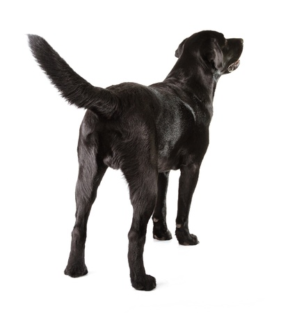 show dog: Black Labrador Retriever 16 months old isolated on white background