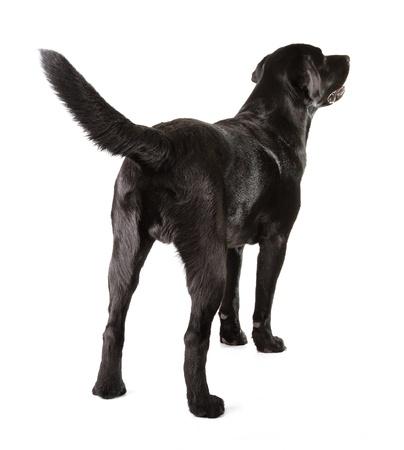 Noir Labrador Retriever �g� de 16 mois isol� sur fond blanc