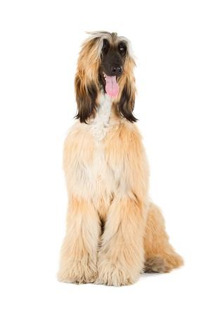 Afghan Hound  Sage Balochi, Ogar Afgan, Eastern Greyhound, Persian Greyhound