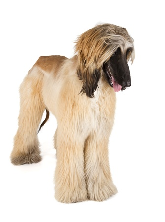 Afghan Hound  Sage Balochi, Ogar Afgan, Eastern Greyhound, Persian Greyhound  photo