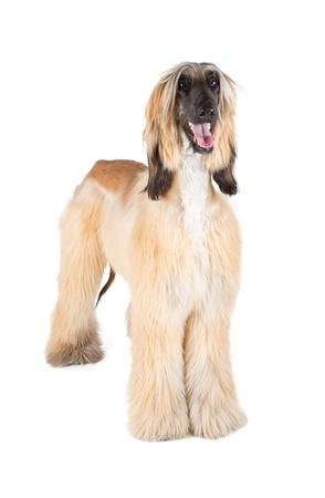 hounds: Afghan Hound  Sage Balochi, Ogar Afgan, Eastern Greyhound, Persian Greyhound