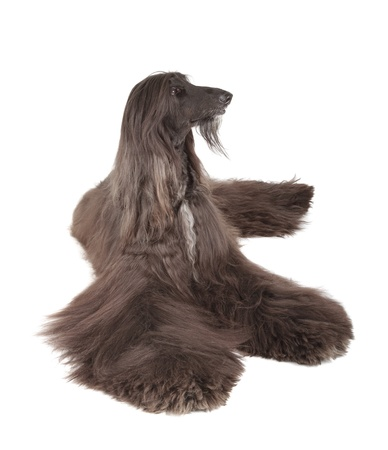 Afghan Hound Stock Photo - 19408110