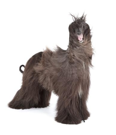hounds: Afghan Hound