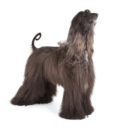 Afghan Hound Stock Photo - 19408115