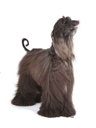 Sunward Edelweiss Afghan Hound International Champion photo