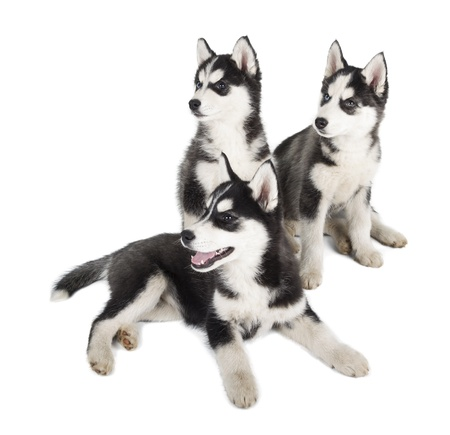 Three Siberian Husky Puppy on white background photo