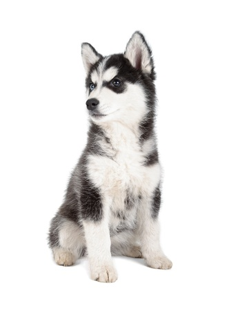 Siberian Husky Puppy on white background photo