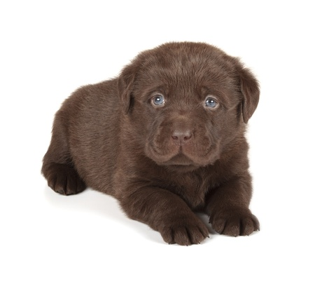Chocolate Labrador Retriever Puppy  4 week old, isolated on white background  photo