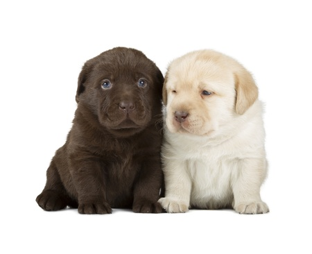 Chocolate   Yellow Labrador Retriever Puppies  4 week old, isolated on white background  photo