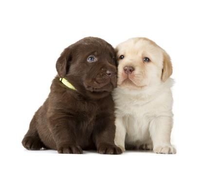 chocolate labrador retriever: Chocolate   Yellow Labrador Retriever Puppies  4 week old, isolated on white background